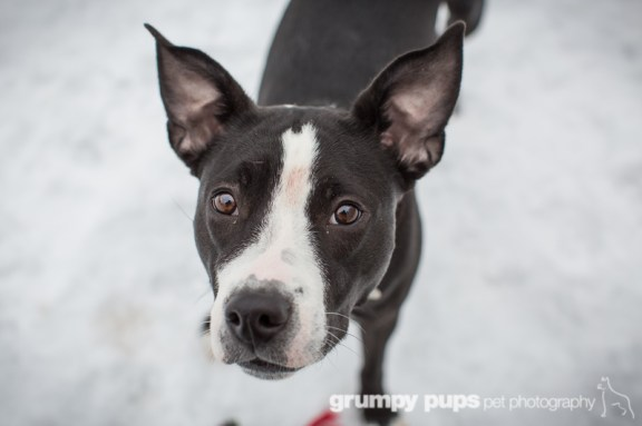 black and white puppy for adoption at Harbor Humane Society, Grumpy Pups Pet Photography