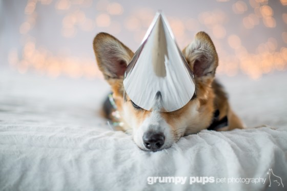 Corgi in a party hat, Grumpy Pups Pet Photography dog party