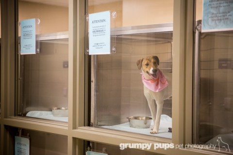 Jack Russell Terrier waits in a kennel for adoption, Kent County Animal Shelter, grumpy pups pet photography