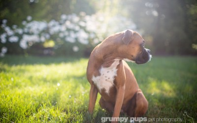 Georgia on My Mind: The first year with our adopted boxer | grand rapids pet photography