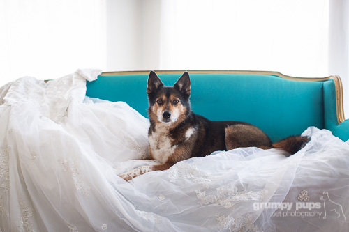 dog laying on a wedding dress, dog photography by grumpy pups pet photography