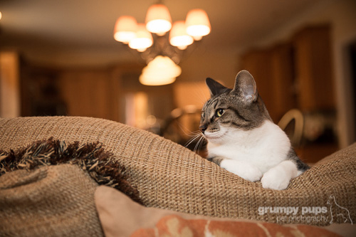 cat on a couch, cat photography by grumpy pups pet photography