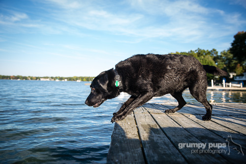 black lab dock diving, dog photography by grumpy pups pet photography