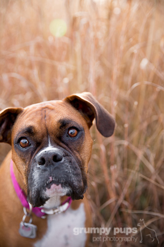 boxer dog in fall colors, grumpy pups pet photography