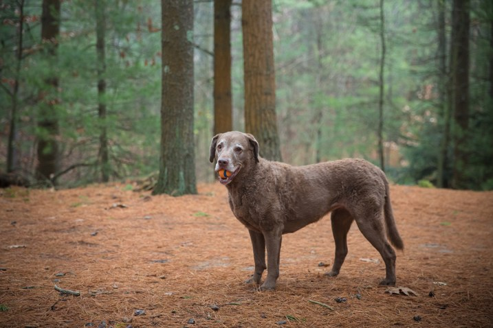 chesapeake bay retriever in pine forest holding tennis ball, grumpy pups pet photography