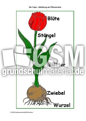 TulpePflanzenteile  Die Tulpe  Frhling  Jahreszeiten