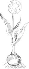 Zeichnungen - Frühblüher - Frühling - Jahreszeiten - HuS