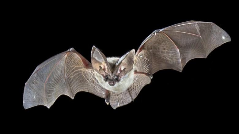Bat flying against black background