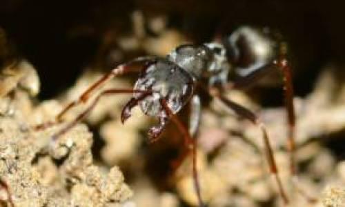 mrówka-corneco-insekt