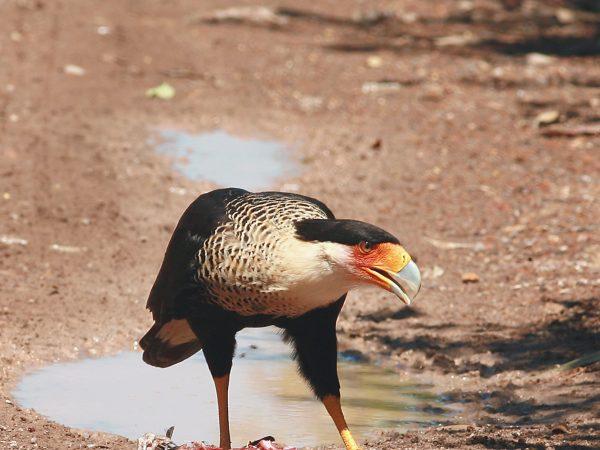 Halcón comiendo pescado en tierra