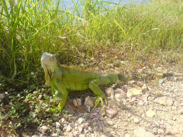 Reptil iguana