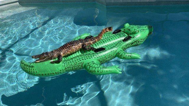 Família encontra jacaré relaxando em boia de piscina em casa alugada
