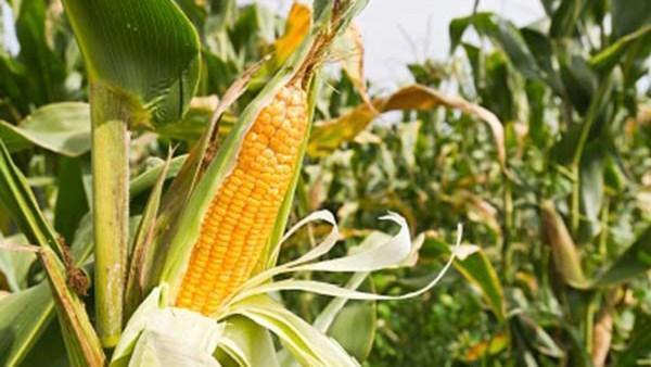 Diferentes partes de una planta de maíz - Grupo SACSA