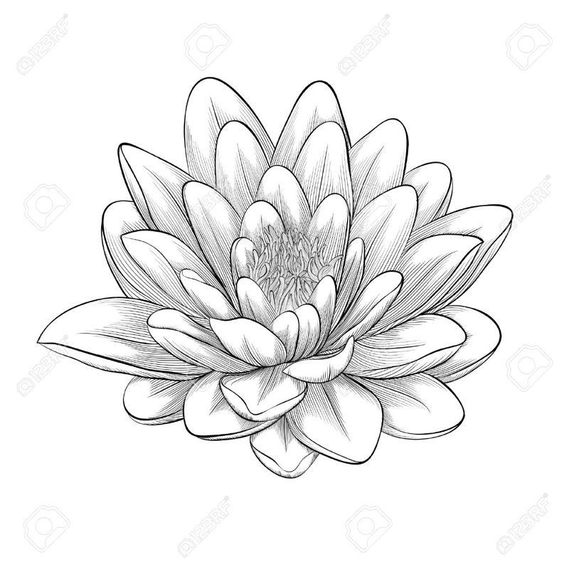 Edelweiss Flower Drawing