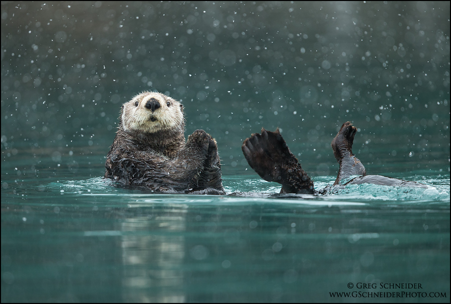 Florida Gull Ring Billed Gull