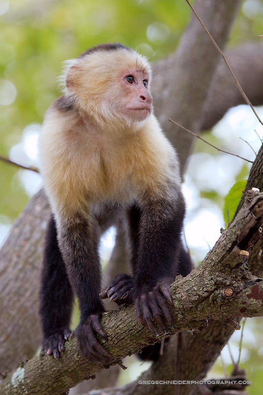 WhiteFaced Capuchin monkey