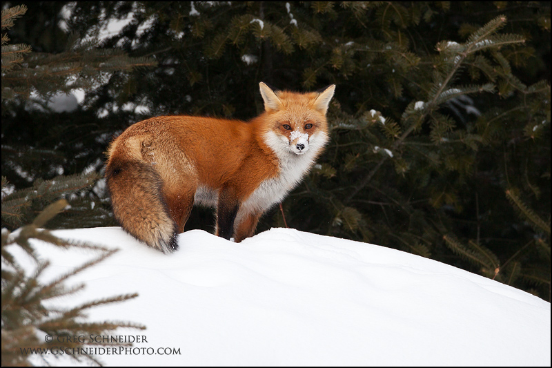 Red Fox vixen at edge of forest