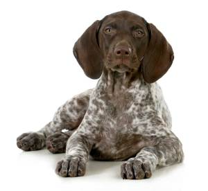 GSP-Puppy-Pic