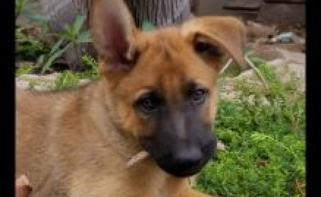 Available Dogs In Gsroc Care German Shepherd Rescue Of