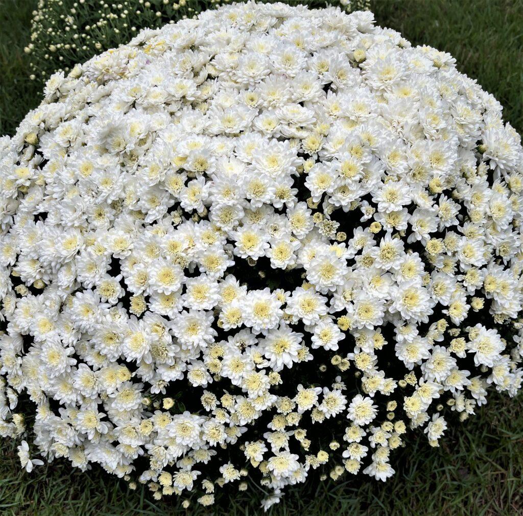 Full Bloom White Mums