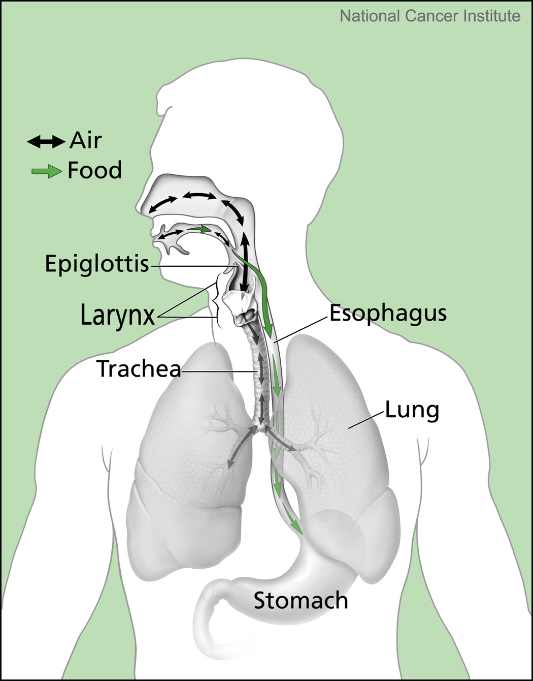 hight resolution of 20190329 nci esophagus diagram