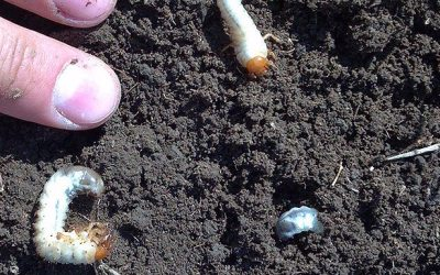 Phyllophaga – 3 year grubs!!!