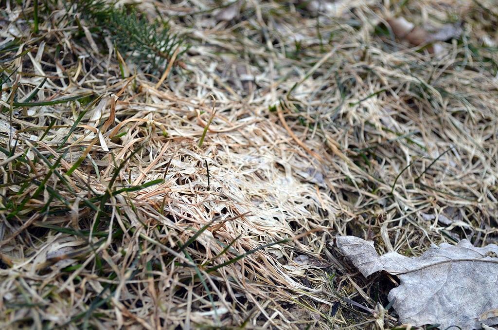 Grey Snow Mold bluegrass close up