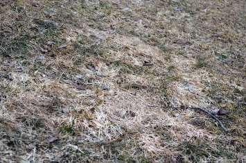 Grey Snow mold bluegrass