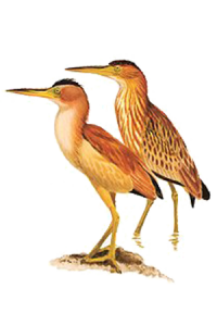 Yakkak (Yellow Bittern)