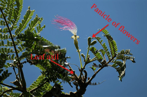 Figure 3. Serianthes nelsonii flower.