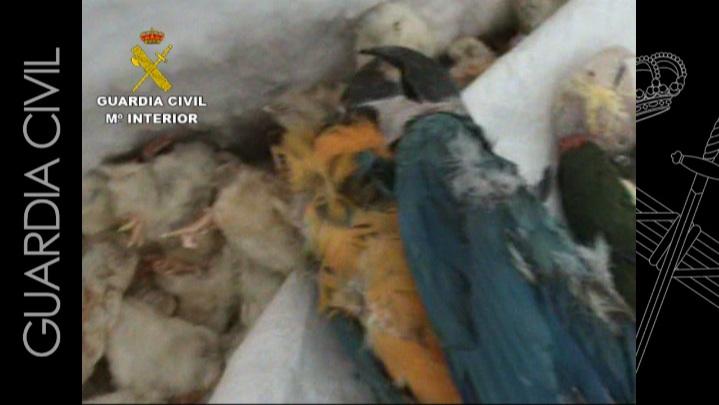 La Guardia Civil desarticula una red especializada en el tráfico de especies animales en peligro de extinción