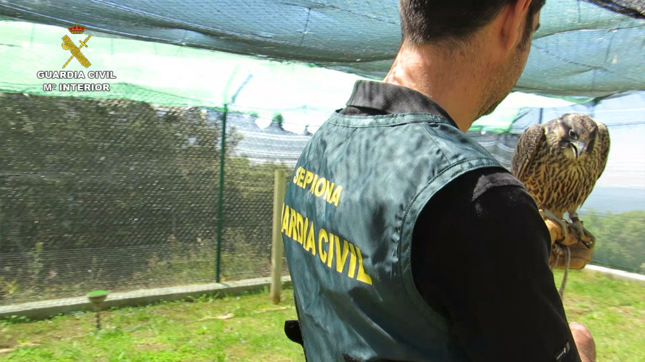 La Guardia Civil desarticula una red criminal dedicada al tráfico ilegal de halcones