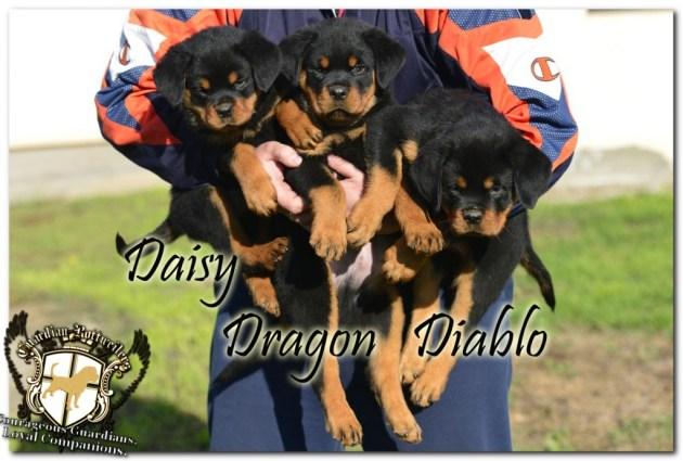 diablo_dragon_daisy03