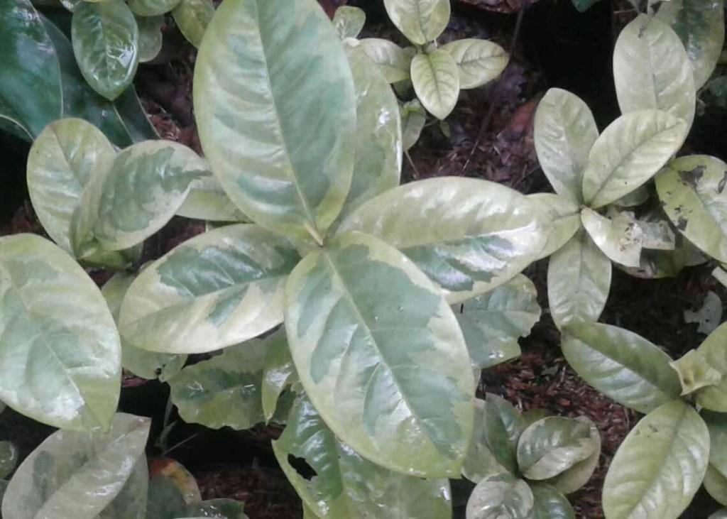 bunga paarigata Ashoka daun lebar