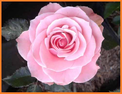 teknik cara menanam bibit bunga mawar