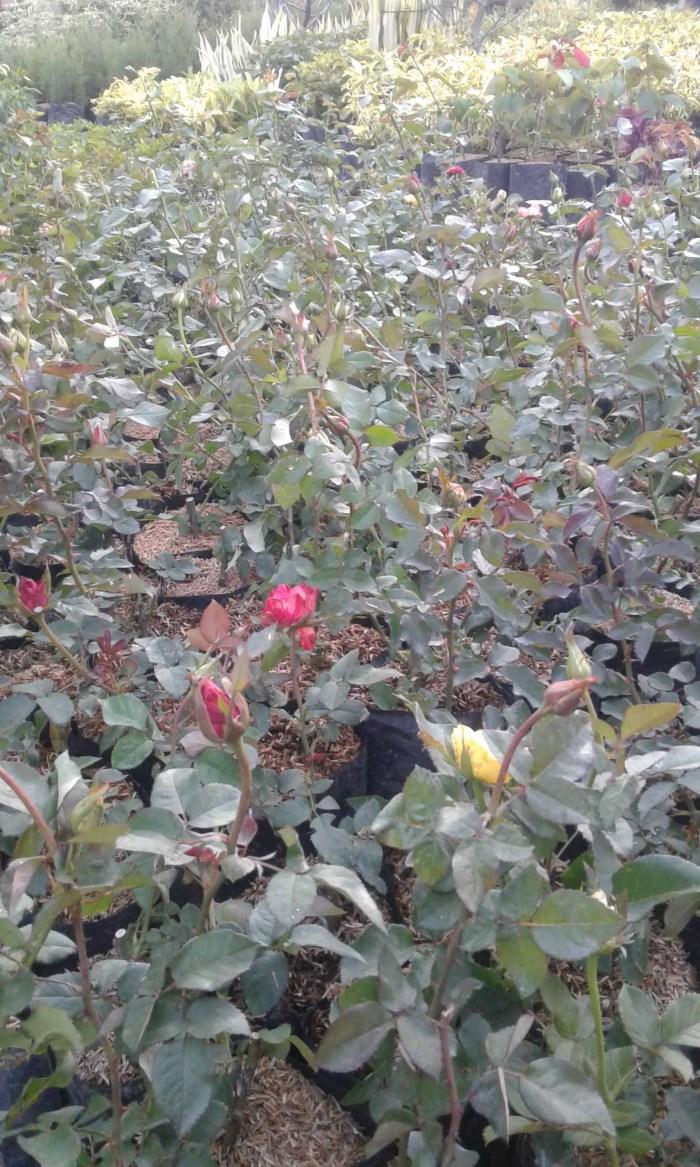 aneka pilihan jenis bunga mawar
