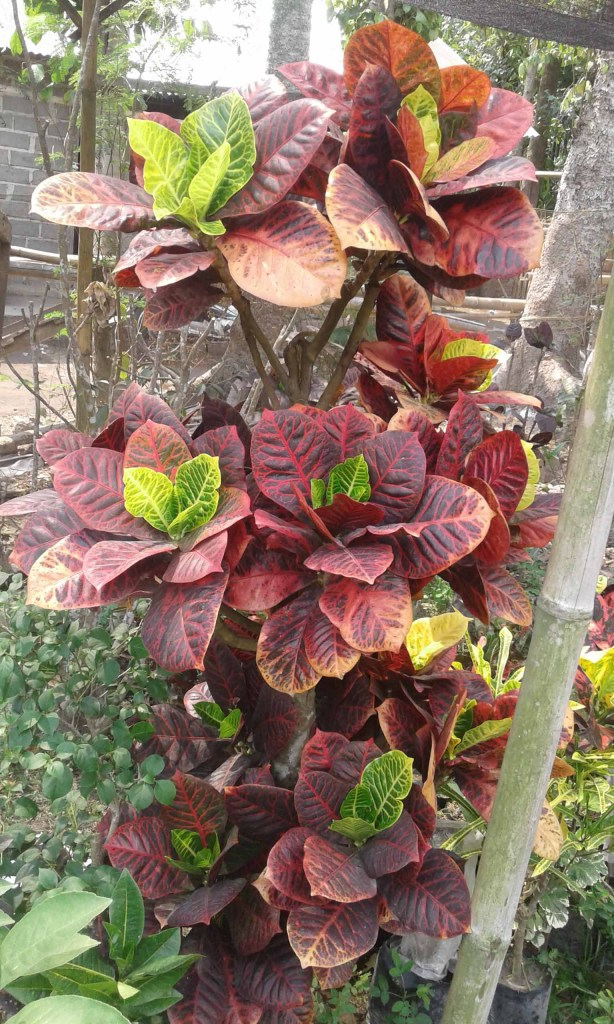 contoh jenis tanaman puring worten beauty