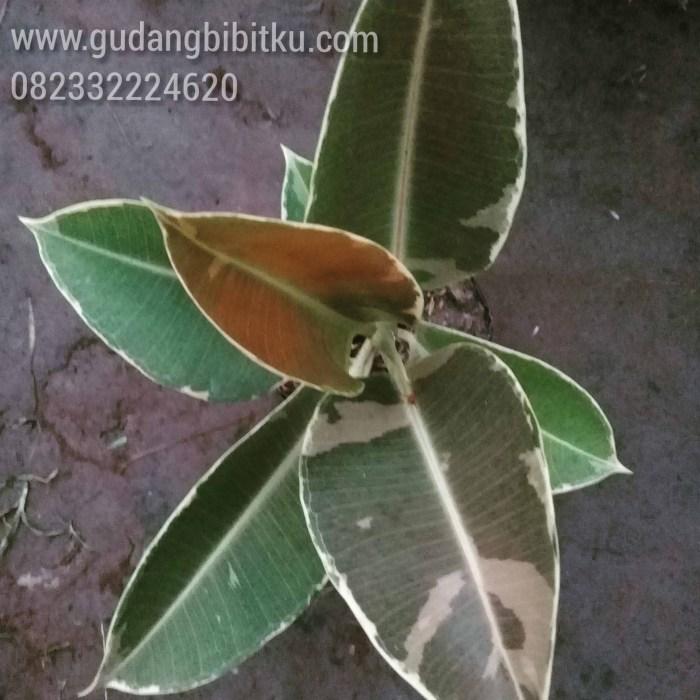 efek samping daun karet kebo