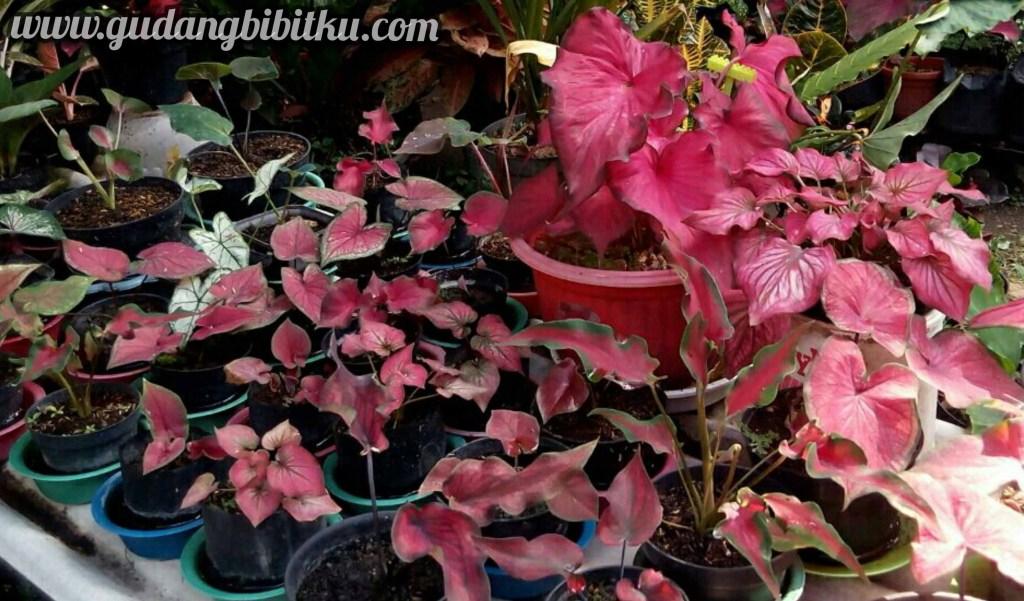harga bunga keladi merah