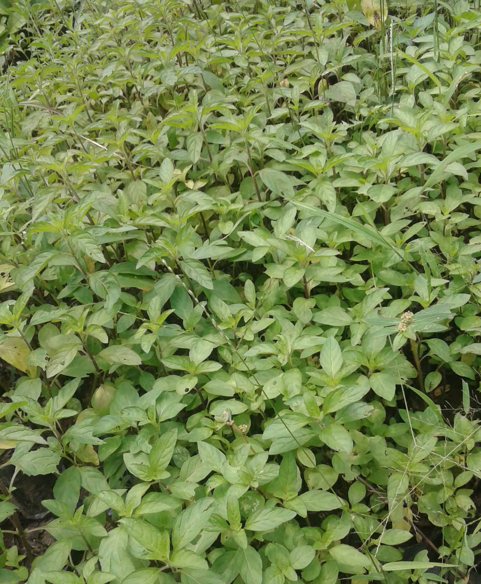 jual bibit spearmint