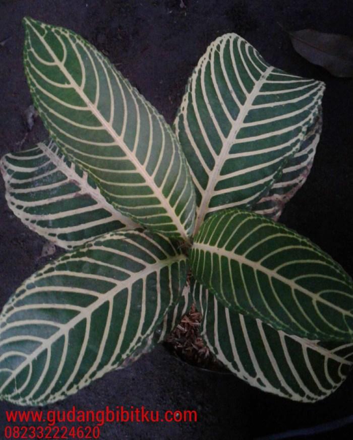 jenis tanaman hias outdoor
