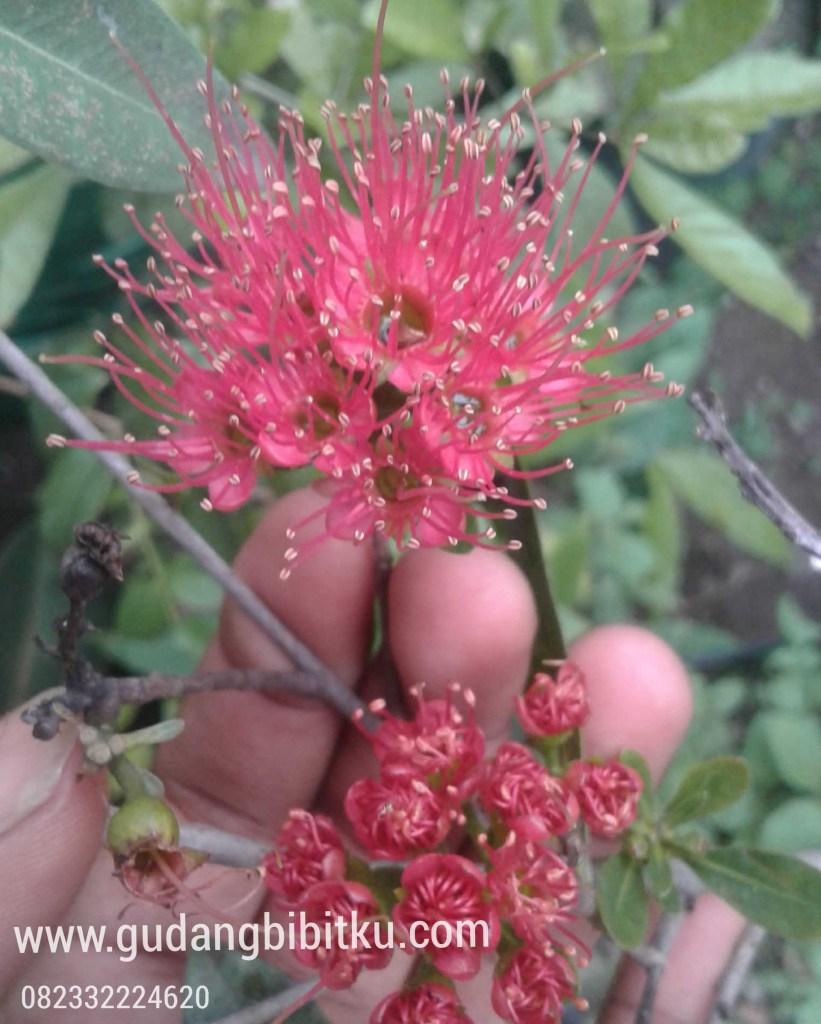 bunga batavia