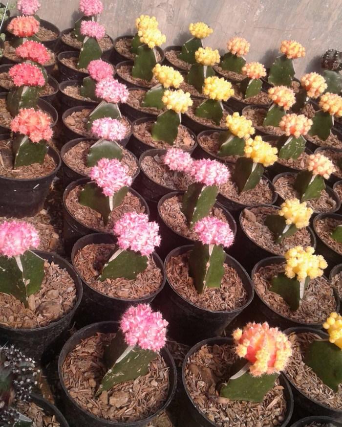 jual kaktus mini satuan