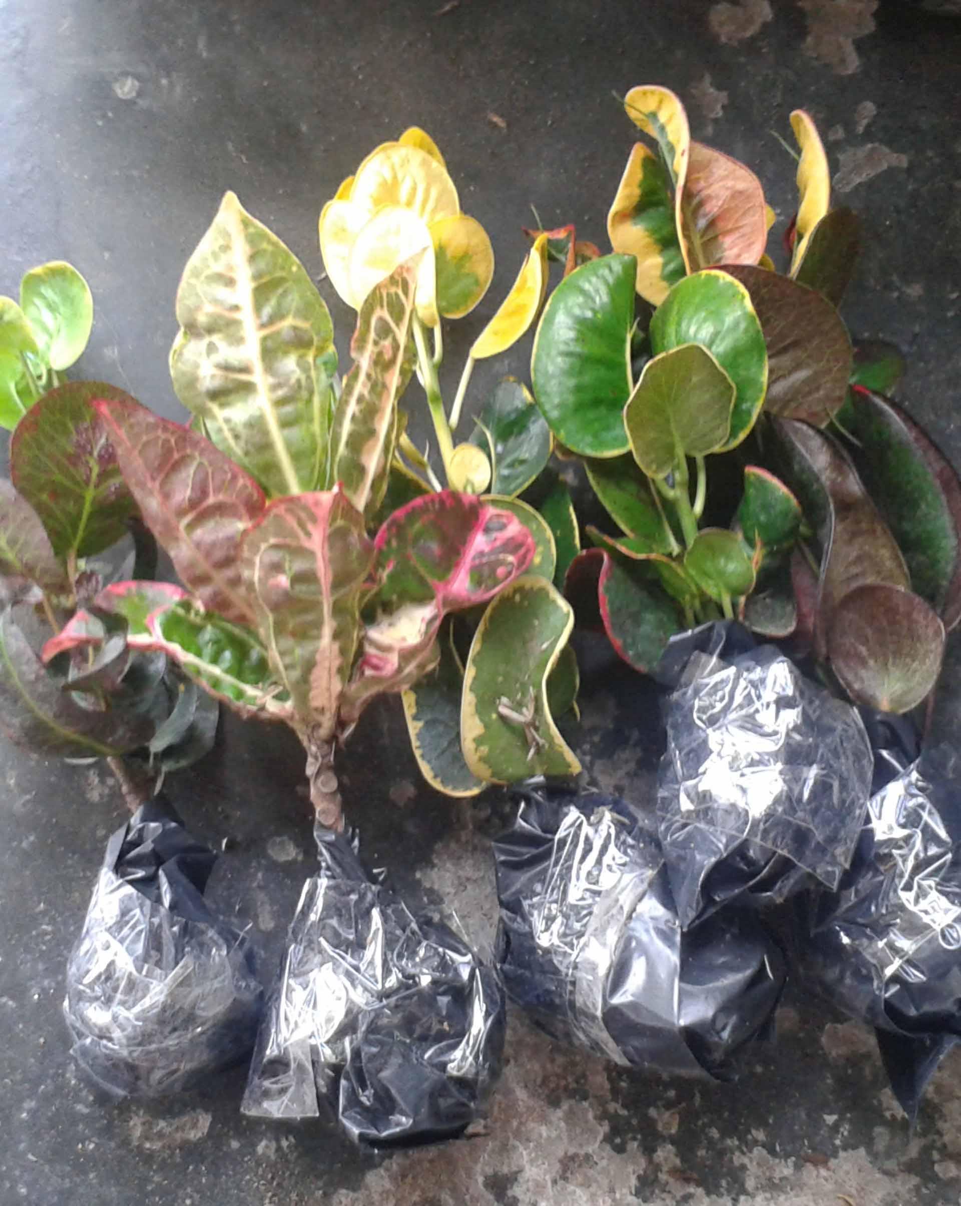 Luar Biasa Klasifikasi Mawar Jambe Bunga Hias