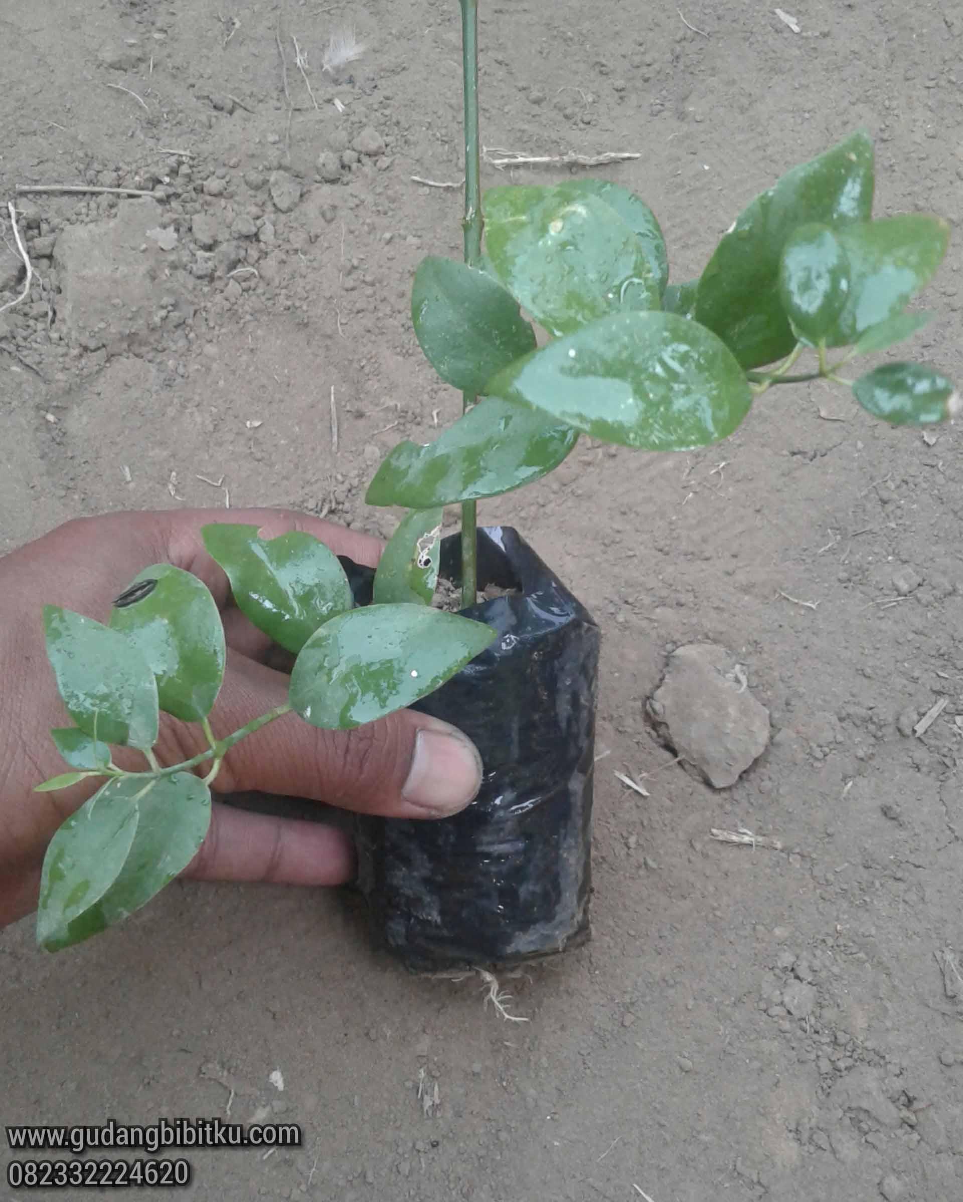 Buah pohon siwak