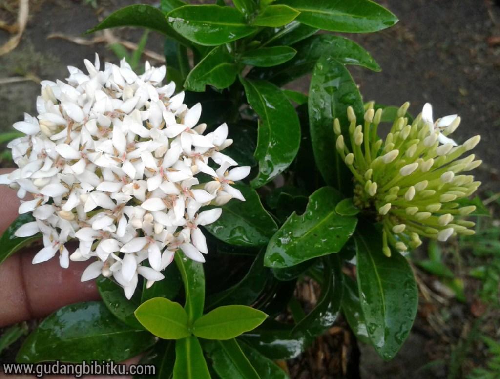Jenis bunga asoka