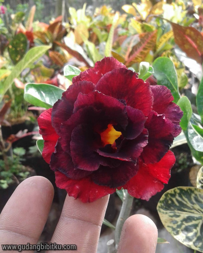 10 Jenis Nama Nama Bunga Yang Termasuk Tanaman Hias Outdoor Gudang Bibitku