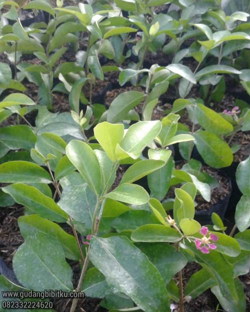 Jual bibit tanaman buah cangkokan