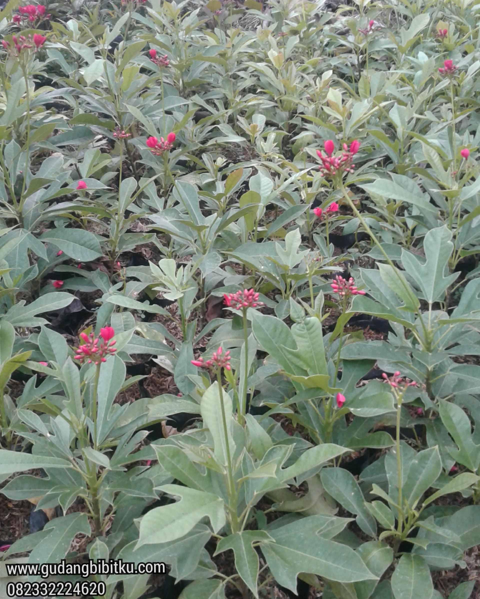 cara memperbanyak bunga batavia