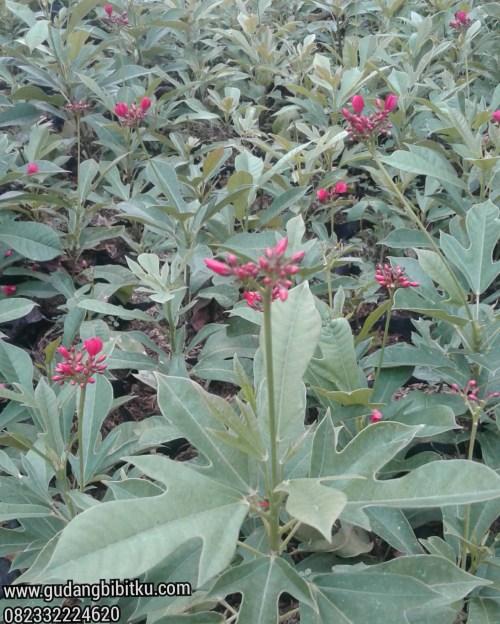 Bunga batavia dan bunga xanthostemon disukai lebah